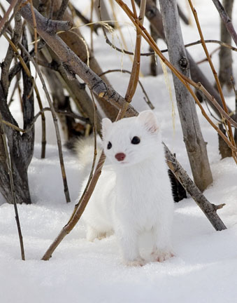 ermine_in_winter.jpg