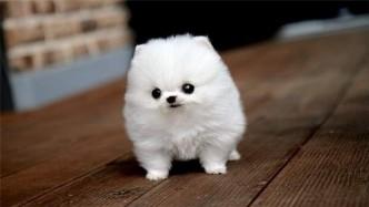 Pomsky-Puppy