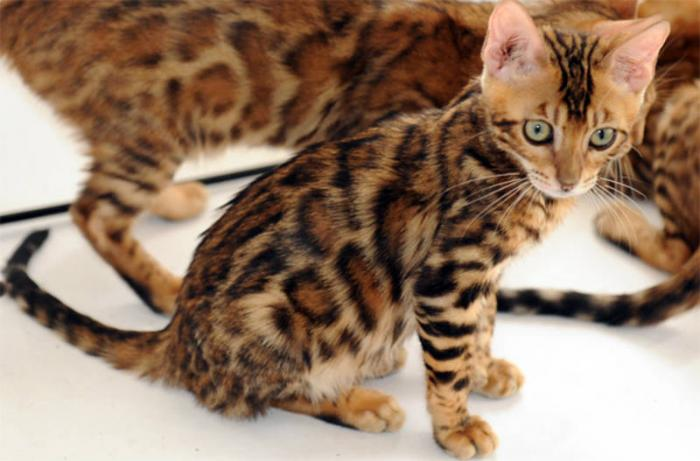 The Exotic Domestic Bengal Cat All The Creatures