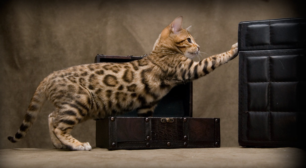 The exotic domestic Bengal cat – All the Creatures