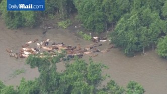 cattle in flood