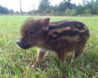 chipmunk pig