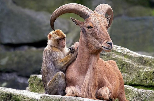 ibex and monkey