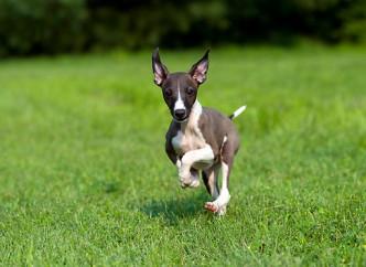 italian greyhound pup