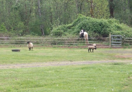 sheep and horses
