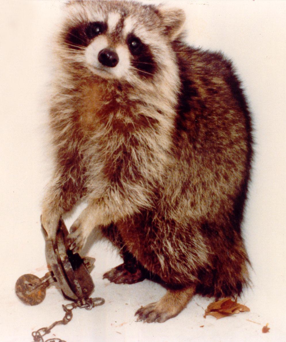 TUZAKLARA DÜŞMÜŞ HAYVANLARIN GÖRÜNTÜLERİ Trapped_raccoon