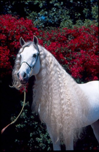 white_andalusian