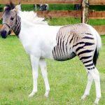 Half horse, half zebra