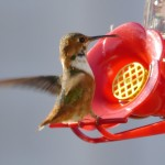 The hummingbirds are back