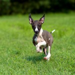 Dog breeds - the Whippet