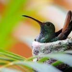 Hummingbird trivia
