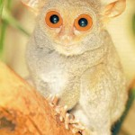 The tarsier, the real life furby