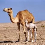 Camel Trivia