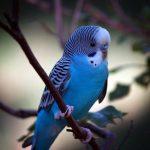 Parakeet trivia