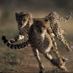 How fast can a cheetah go?