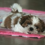 Genetic problems of the Shih Tzu