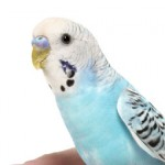 Teaching your parakeet to talk
