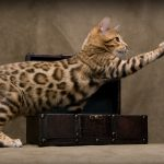 The exotic domestic Bengal cat