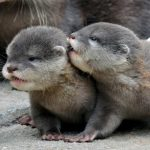 River otter teaches pup to swim