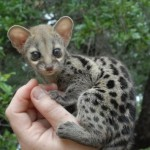 Exotic pet, the Genet