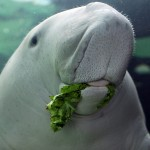 The Dugong, cow of the sea