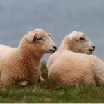 Remove poisonous weeds from pasture with sheep