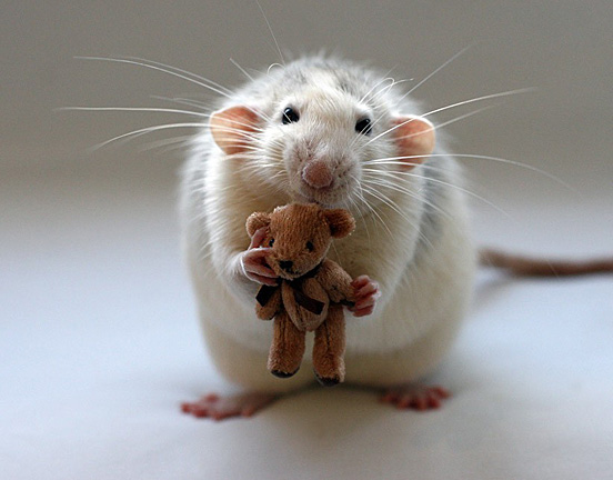 rat_with_teddy.jpg