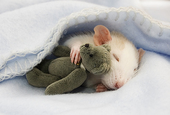 rat_with_teddy2.jpg
